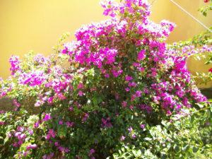 Bouganvilla i blomstring